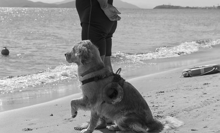 waits: Rescue dog waits for instructions from trainer on the beach Stock Photo