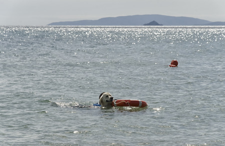 brings: Rescue dog brings the coach out of the water Stock Photo