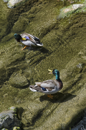 webbed feet: View of ducks washing in the river