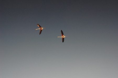 spread wings: Group of flamingos flying with spread wings Stock Photo