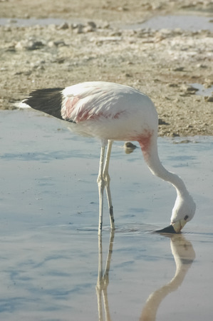 chilean: An Chilean flamingo in the Salar de Atacama