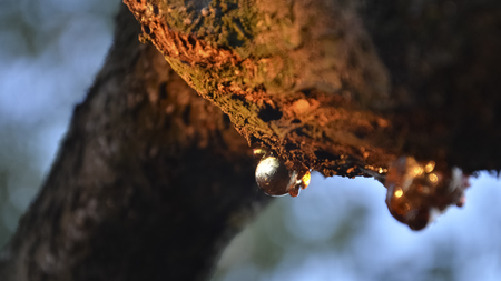 View of vegetable resin of a tree branch