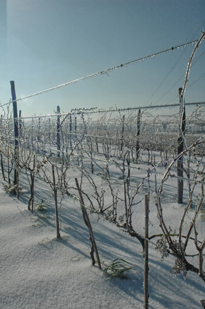 View of frozen vineyard after a winter storm Stock Photo
