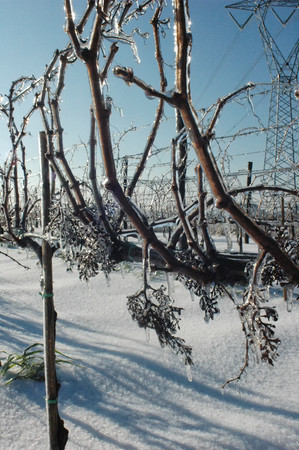 View of an icy vineyard after a snowfall