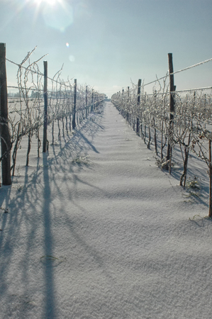 View of icy vineyard after a snow storm