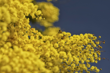 View of two bees pollinating an Acacia dealbata