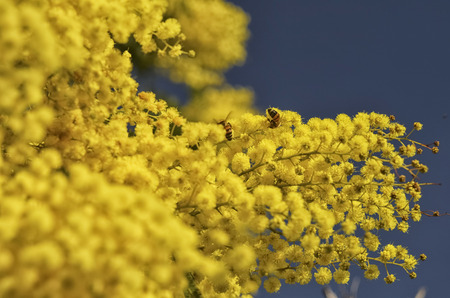 View of two bees pollinating a yellow mimosa