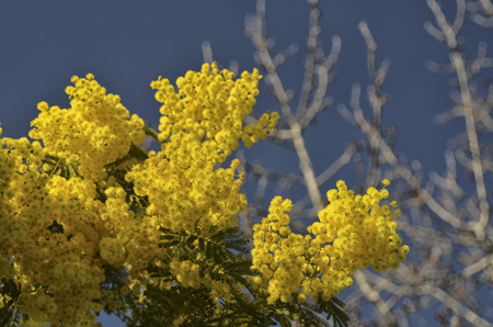 View of a freshly flowered Acacia dealbata
