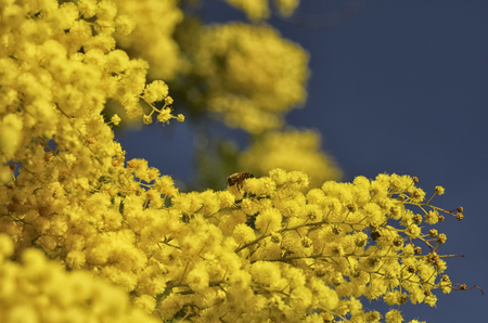 View of a bee pollinating a mimosa Stock Photo