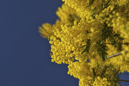 View of a beautiful blooming yellow mimosa