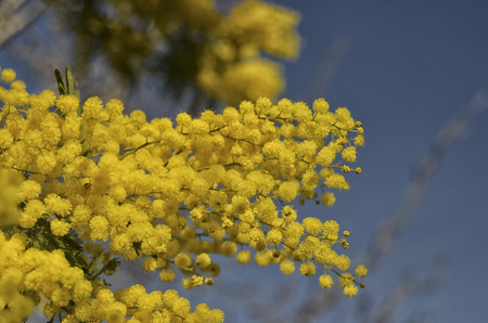 View of a freshly blossomed Acacia dealbata
