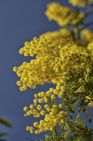 View of a magnificent blooming yellow mimosa