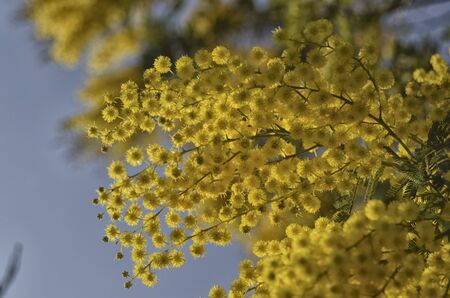 View of a yellow mimosa to give for womens day