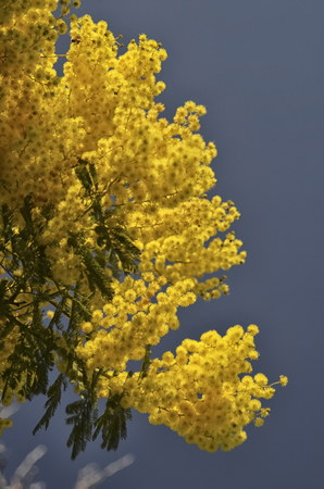 View of a yellow mimosa for the International womens day