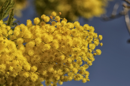 View of a yellow mimosa for the womens day