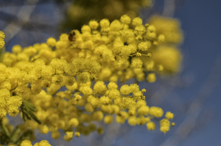 View of a freshly blossomed yellow mimosa