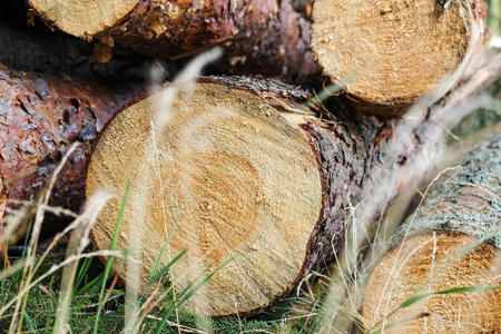 Cutting down trees. Logs in the grass