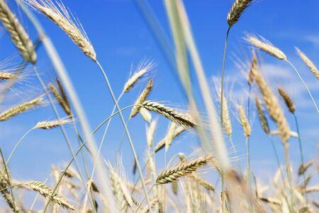 Golden ears of rye on a background of pure blue sky. Wheat growing in a farm field, closeup on ear Banco de Imagens