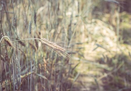 A spike of rye bent over the path