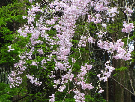 soft peak: Weeping cherry blossoms