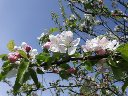 Apple blossoms Stock Photo - 46970950