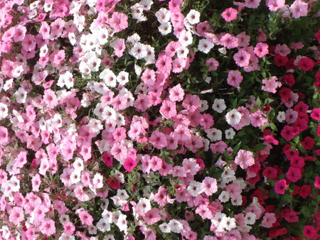 soft peak: Pink, white and red million bells