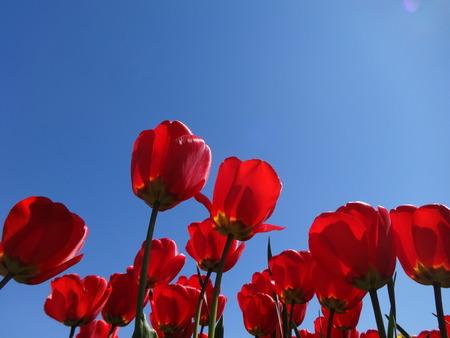 skagit: Red tulips