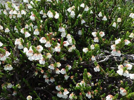 heather: White mountain heather