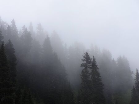 evergreen trees: Misty forest Stock Photo
