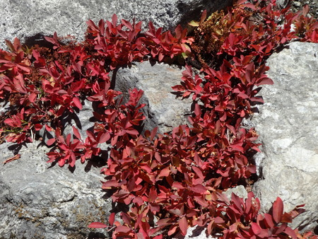 bear berry: Wild huckleberry plants fall color