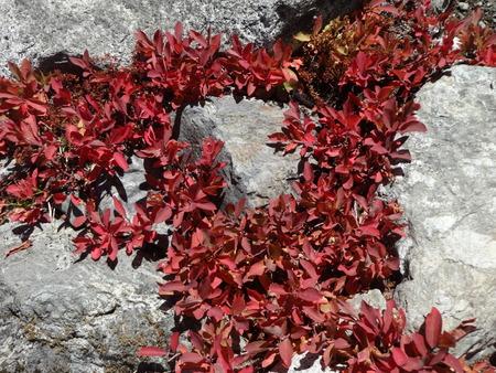 bear berry: Wild huckleberry plants fall color