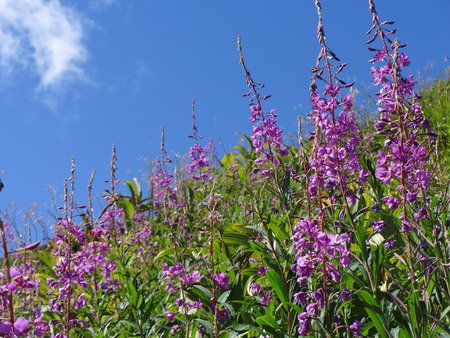 fireweed: Fireweed Chamerion angustifolium Stock Photo