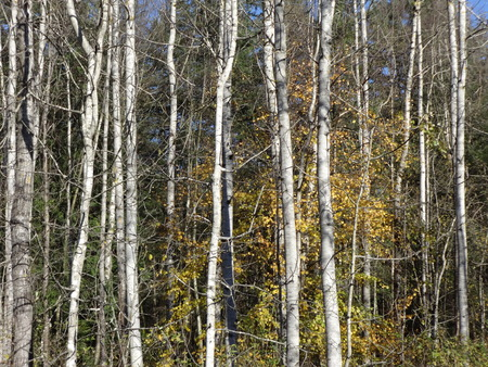 yellow alder: Alder fall scene
