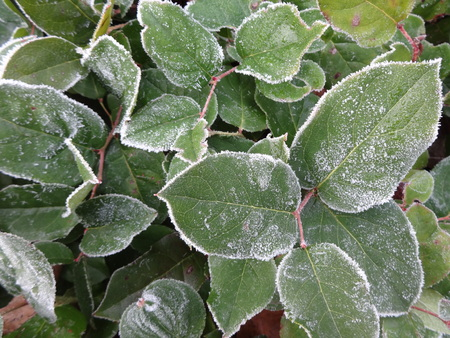 veining: Frosted Leaves Stock Photo