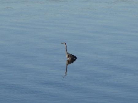 great blue heron: Great Blue Heron is waiting to catch a fish in the bay