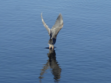 taking off: Great Blue Heron is taking off