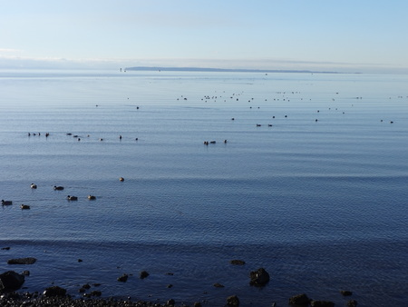 migratory birds: Calm Semiahmoo Bay with migratory birds on a winter day