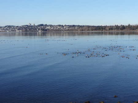 migratory birds: Migratory birds in a Semiahmoo Bay on a winter day