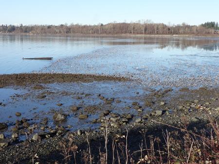 waders: Las aves migratorias en una bahía de Semiahmoo en un día de invierno