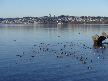 migratory: Migratory birds in a Semiahmoo Bay on a winter day