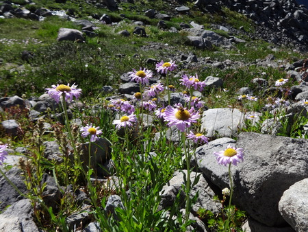 drought    resistant plant: Mountain wildflowers