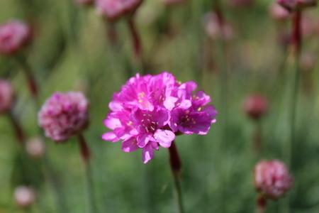 drought    resistant plant: Armeria flower Stock Photo