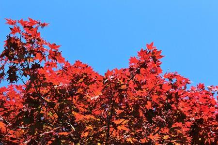 acer palmatum: Japanese maple with blue sky Stock Photo