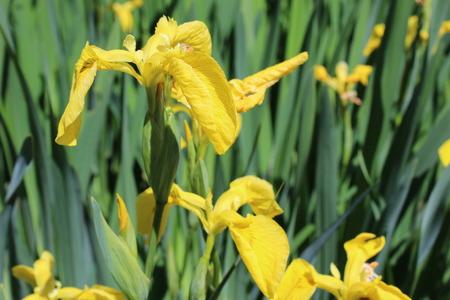 beardless: Yellow Iris Stock Photo