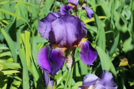 beardless: Japanese Iris Stock Photo