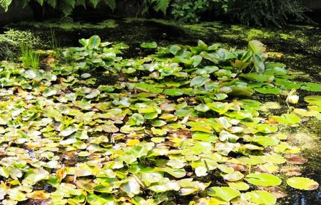 plants species: Lily stagno all'inizio dell'estate