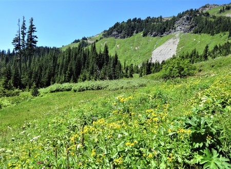 Wildflowers bloom in  a sunny meadow at Church Mountain, Washington