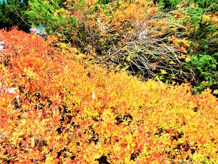 winchester: Autumn colored wild blueberry leaves Stock Photo
