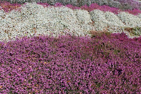 Pink and white heather flowers in spring sunshine stock photo pink and white heather flowers in spring sunshine stock photo 75861584 mightylinksfo