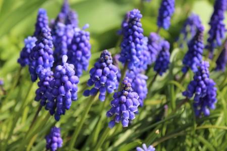 bulb fields: Muscari flowers bloom in spring garden